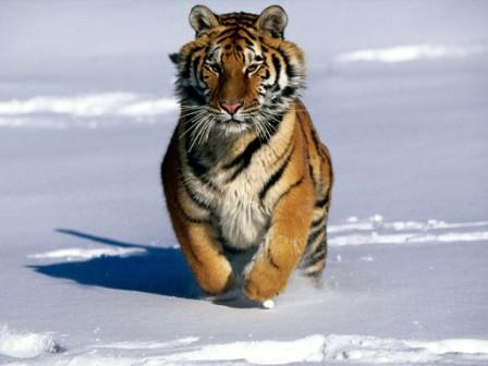 Tiger Facts Pictures and Habitat of this Animal