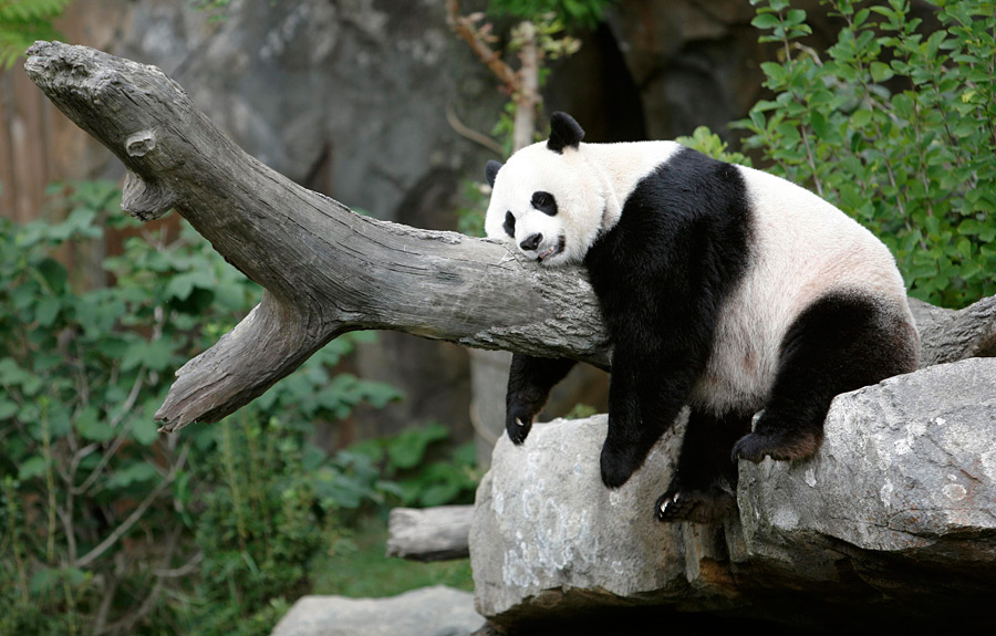 http://imgtube.ru/images/stories/2013/02/918-panda/8.jpg